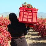 Iran Barberry picking