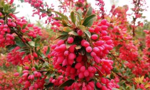 Iran Barberry Tour